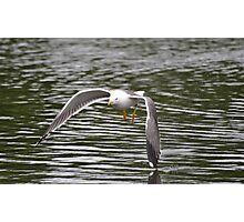 A Skimming Gull Photographic Print