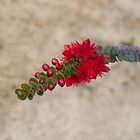 Scarlet Feather Flower (Verticordia grandis) by Elaine Teague