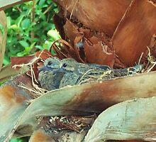 Baby Morning Doves....cooo cooo by rokinronda