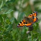 Small Tortoiseshell by EvilTwin