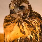 Lucky the Red Tail by Chris Morrison