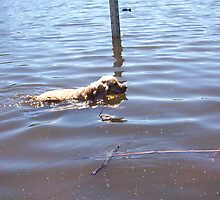 Dog Swimming by Robert Phillips