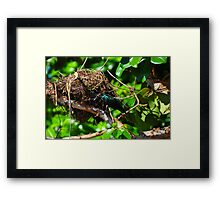 Metallic Starling (Aplonis metallica) Framed Print