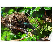 Metallic Starling (Aplonis metallica) Poster