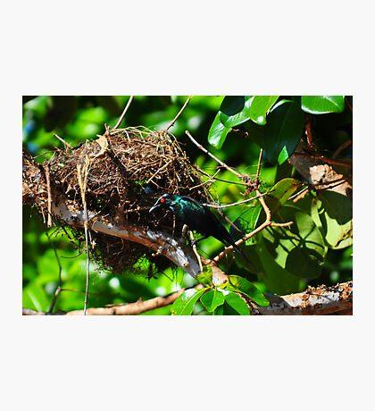 Metallic Starling (Aplonis metallica) Photographic Print
