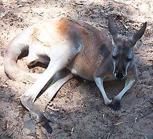 Kangaroo One by Robert Phillips