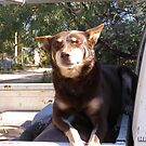 'I'M NOT ALLOWED DOWN, BUT I'D LOVE A PAT!' Meg the Kelpie. by Rita Blom