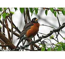 Robin on a wire Photographic Print
