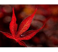 One red leaf Photographic Print