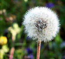 Dandelion Snow by Brian Gaynor