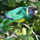 &#x27;&#x27;Australian Ringneck Parrot&#x27;&#x27; by bowenite