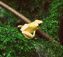 Yellow poison dart frog by Samantha Harmon-Smith