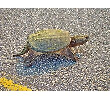 Common Snapping Turtle - Chelydra serpentina Photographic Print