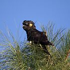 In the thick of it all ... Yellow-tailed Black Cockatoo by mosaicavenues