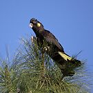 It's a matter of balance ... Yellow-tailed Black Cockatoo by Kerryn Ryan, Mosaic Avenues