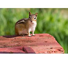 """Chippy"" the Chipmunk Photographic Print"