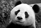 Giant Panda by SD Smart