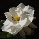 Morning Gardenia by amgmcpherson
