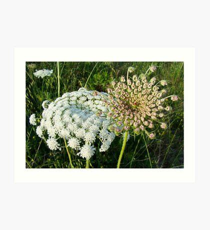 Queen Anne's lace (daucus carota/ maxima) flowers Art Print