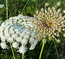 Queen Anne's lace (daucus carota/ maxima) flowers by PenguinVic