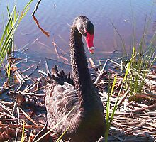 Black Swan by Robert Phillips