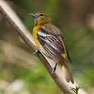 Baltimore Oriole Female by withacanon