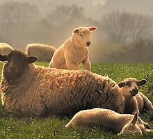 Sheep in Spring by delros