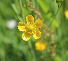 Floating Buttercup  by karina5