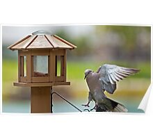 Ring Necked Dove (From My Window) Poster
