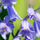 Bluebells by ePowell
