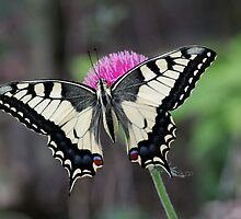 European Swallowtail butterfly by nymphalid