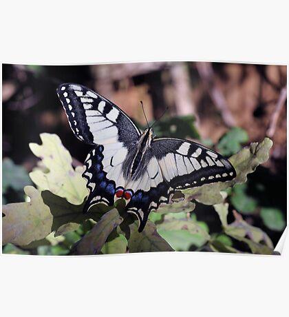 Swallowtail butterfly on oak leaves Poster
