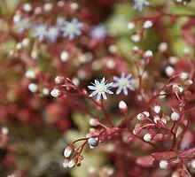 "Flower of ""sedum caeruleum"" by Alessandra Antonini"