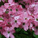 Pink Dogwood by SKNickel