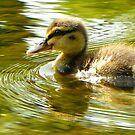 Lone Duckling-River Nidd, Knaresborough, North Y'shire by Eileen O'Rourke