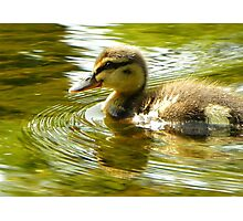 Lone Duckling-River Nidd, Knaresborough, North Y'shire Photographic Print