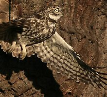 Flight Of The Little Owl by snapdecisions