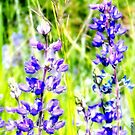 Mountain Lupines by rocamiadesign
