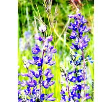 Mountain Lupines Photographic Print
