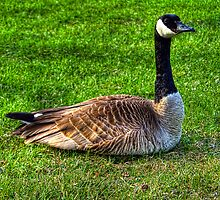 Canadian Goose by lost-remains