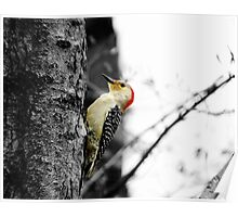 Red Bellied Woodpecker - Male Poster
