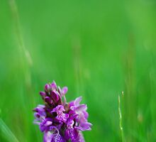 Meadow Orchid by Owen Franssen