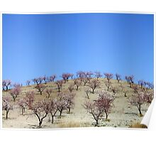 Almond orchards Poster