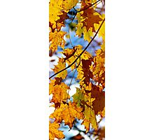 Autumn maple tree leaves Photographic Print