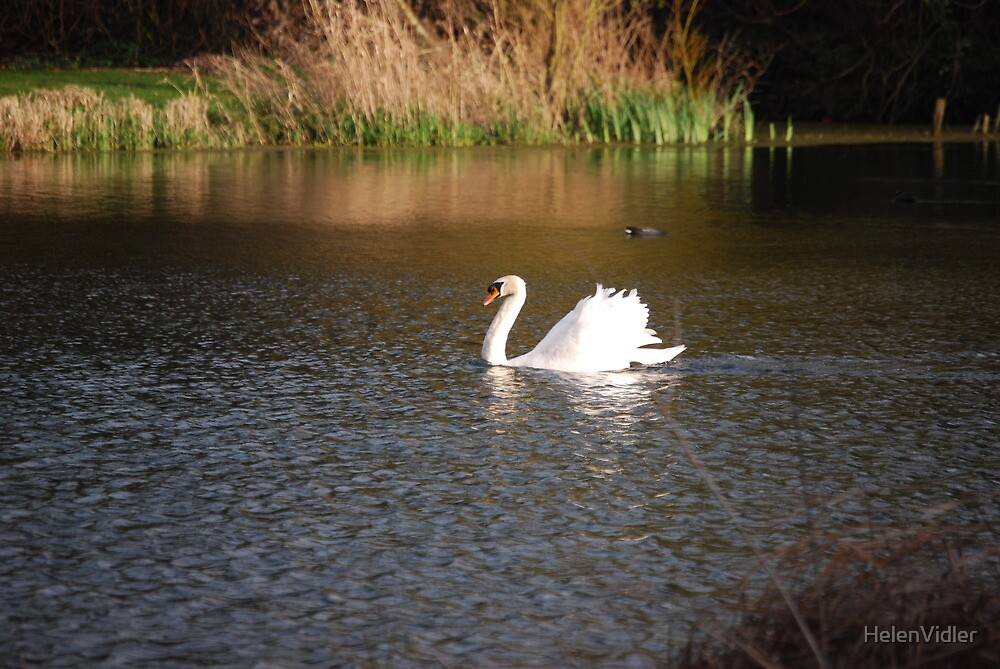 Graceful Swan on the Lake - Kentish Conservation Area by HelenVidler