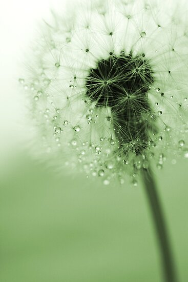 Romantic dandelion by Caterpillar