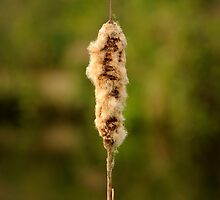 Bullrush with bokeh by James1980