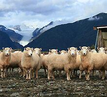 sheepyards  fox glacier  south westland  nz by rina  thompson
