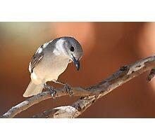 ''Grey Shrike-thrush'' Photographic Print