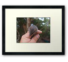 Agile Antechinus Framed Print